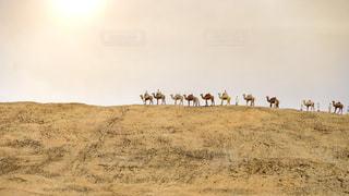 砂漠を行くラクダたちの写真・画像素材[2861048]
