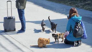 猫がたくさん真鍋島の写真・画像素材[3132906]