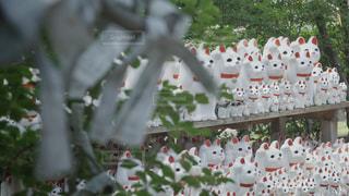 豪徳寺の招き猫の写真・画像素材[3493896]
