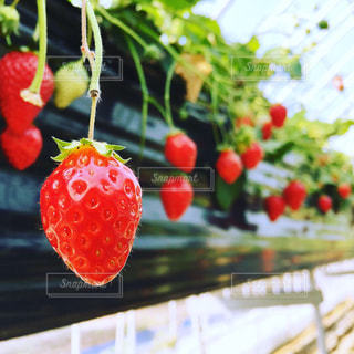 苺の写真・画像素材[2855163]