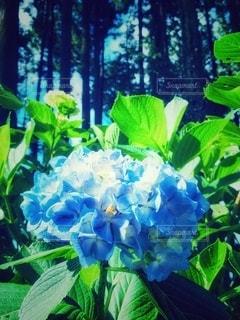 紫陽花の写真・画像素材[3340298]