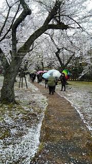 桜の花弁の絨毯の写真・画像素材[2844094]