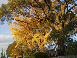 銀杏の大木の写真・画像素材[2844200]