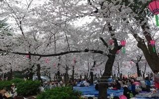 鶴舞公園のお花見の写真・画像素材[2844614]
