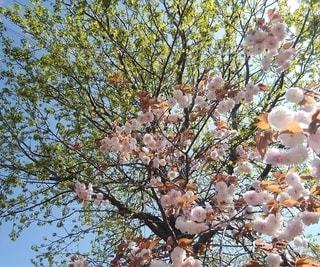 ボタン桜と新緑の写真・画像素材[2950571]