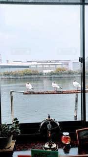 喫茶店から見える夏羽のユリカモメの写真・画像素材[3112793]