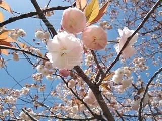 紅色の八重桜、ベニフゲン(紅普賢)の写真・画像素材[3116690]