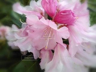 シャクナゲの花のクローズアップの写真・画像素材[3118470]