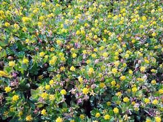 野原の黄色い花(コメツブツメクサ)の写真・画像素材[3143347]