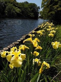 黄色い菖蒲と池の写真・画像素材[3228121]