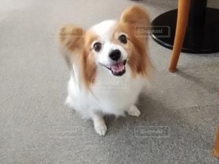 カメラを見ている犬の写真・画像素材[3253203]