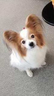 小さな茶色と白の犬の写真・画像素材[3253202]