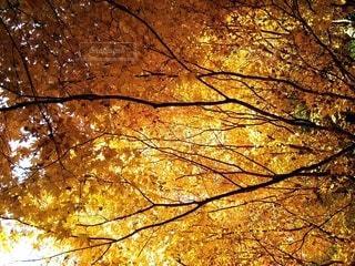 カエデの黄葉の写真・画像素材[3885716]