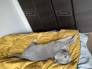 ベッドに横たわる猫の写真・画像素材[3813706]