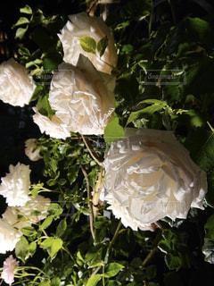 夜のバラの写真・画像素材[2846951]