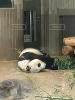 上野動物園のシャンシャンの写真・画像素材[2845178]