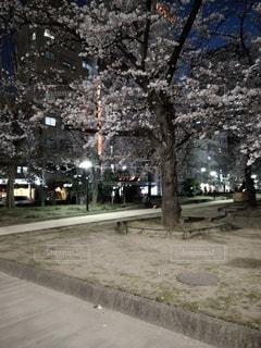 桜の写真・画像素材[3095603]