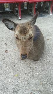 宮島の鹿の写真・画像素材[2845466]