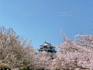 松山城と桜の写真・画像素材[3075039]
