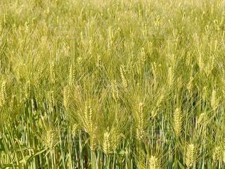 麦畑の写真・画像素材[3132606]