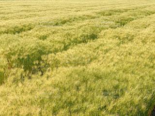 はだか麦畑の写真・画像素材[3132616]