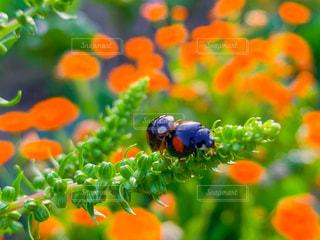 てんとう虫の交尾の写真・画像素材[3163088]