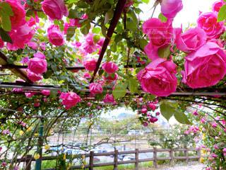 薔薇 パレードの写真・画像素材[3210098]