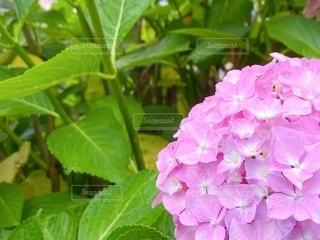 ピンクのあじさいの写真・画像素材[3318072]