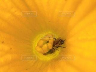 かぼちゃの花とミツバチの写真・画像素材[3345669]