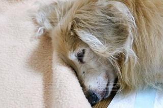 寝ているミニチュアダックスフントの写真・画像素材[3373303]