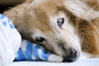 眠る高齢犬の写真・画像素材[3380821]