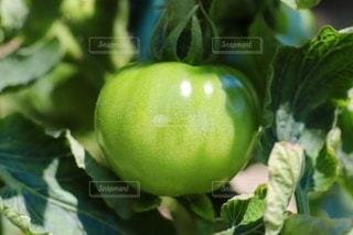 未熟なトマトの写真・画像素材[3444094]