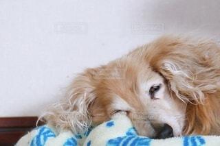 眠る老犬 18歳の写真・画像素材[3624319]