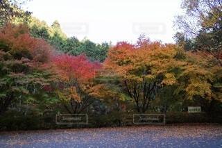 秋の鈍川渓谷 11月中旬 愛媛県今治市の写真・画像素材[3883951]