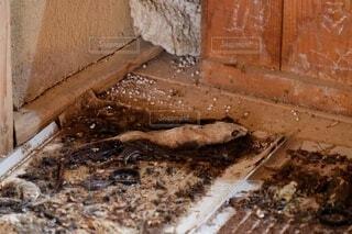 ネズミ捕りにかかったネズミの死体 腐敗、白骨化の写真・画像素材[4131771]