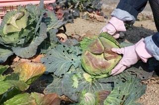 家庭菜園のキャベツを収穫の写真・画像素材[4131783]