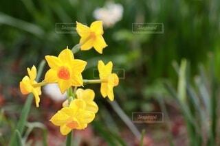 黄房スイセンの写真・画像素材[4200245]