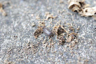 ダンゴムシ オカダンゴムシの写真・画像素材[4441762]