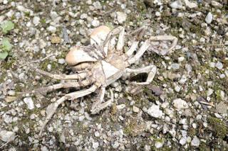 干からびたアカテガニの死骸の写真・画像素材[4519864]