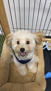 笑っているように見えるチワプーの子犬の写真・画像素材[2846556]