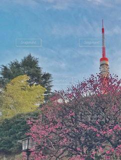 東京タワーと5分咲きの紅梅の写真・画像素材[2931390]