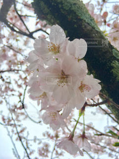 雨の桜の写真・画像素材[420862]