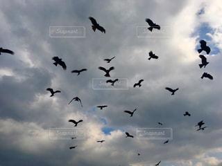 空を飛ぶとんびの群れの写真・画像素材[1181751]