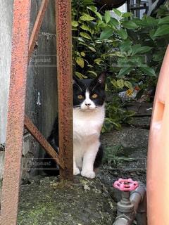 はちわれ子猫の写真・画像素材[1648892]