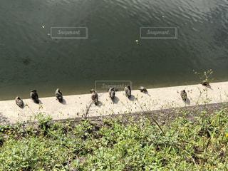 秋晴れの川沿いで寛ぐ鴨&亀の写真・画像素材[2679241]