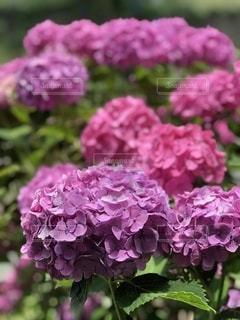 紫陽花の写真・画像素材[3340926]