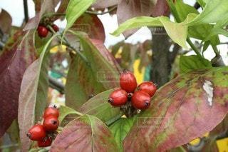 果樹のクローズアップの写真・画像素材[2929944]