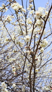 梅の花の写真・画像素材[2964238]