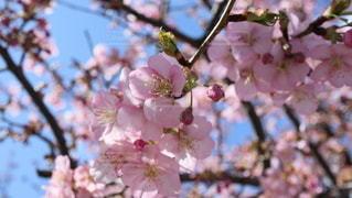 河津桜の写真・画像素材[2972694]