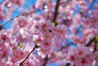桜の花の写真・画像素材[2975979]